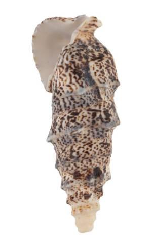 Декоративные ракушки Cerethium Aloco, 5шт