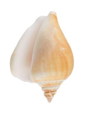 Декоративные ракушки Strombus Canarium, 3шт