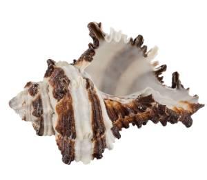 Декоративные ракушки Vasum Cornigerum, 3шт