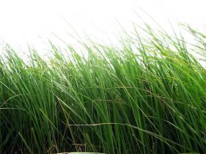 Отдушка парфюм. Скошенная трава (Herbe coupee) - 61337/E